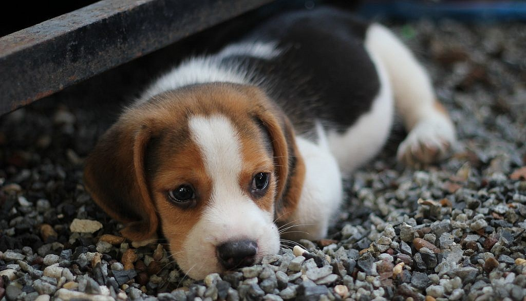 Don T Let Their Sweet Eyes You In Beagles Are Famously Loud Barking Dogs Who Do Well With Neighbors They Were Originally Bred For Hunting