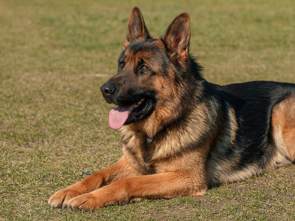 Just By Looking At German Shepherds You Should Realize Why They Re Not Well Suited For Apartments Huge Also High Energy